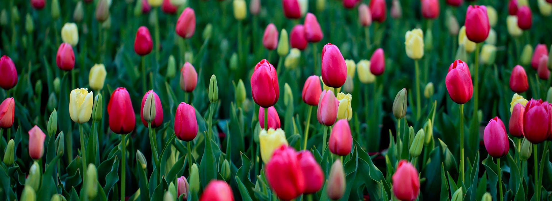 Lễ hội hoa Canberra