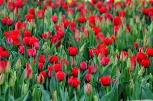 Tulip Vinpearl Nha Trang