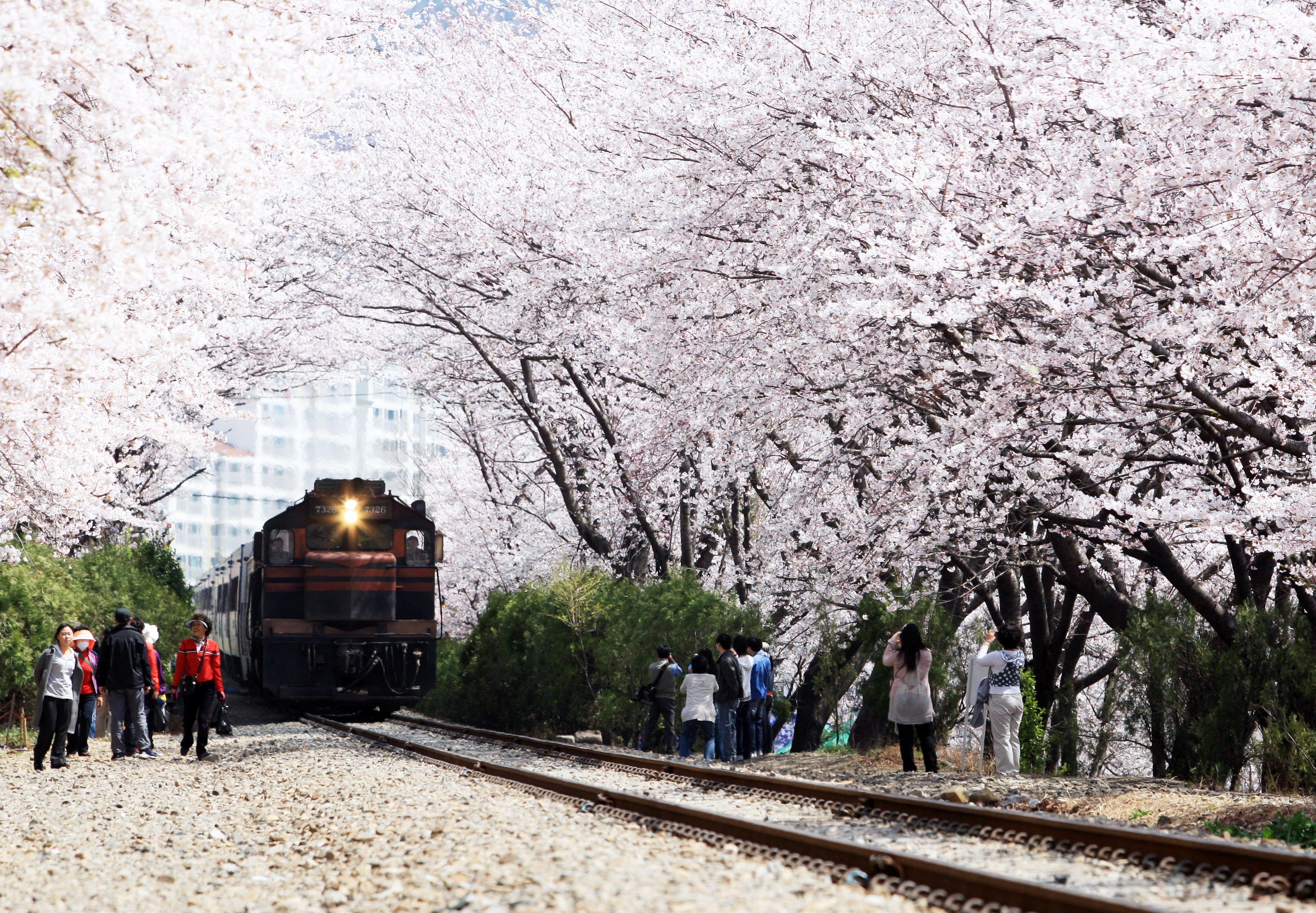 Hoa Anh Đào Hàn Quốc