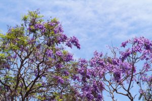 Hoa phượng tím