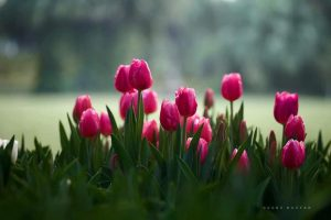 Lễ hội hoa tulip Ecopark 2019 1
