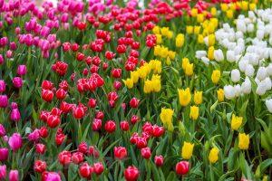Lễ hội hoa tulip Ecopark 2019 2