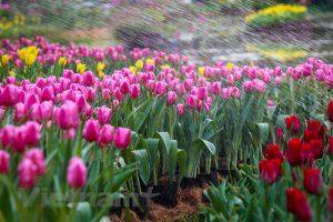 Lễ hội hoa tulip Ecopark 2019 3