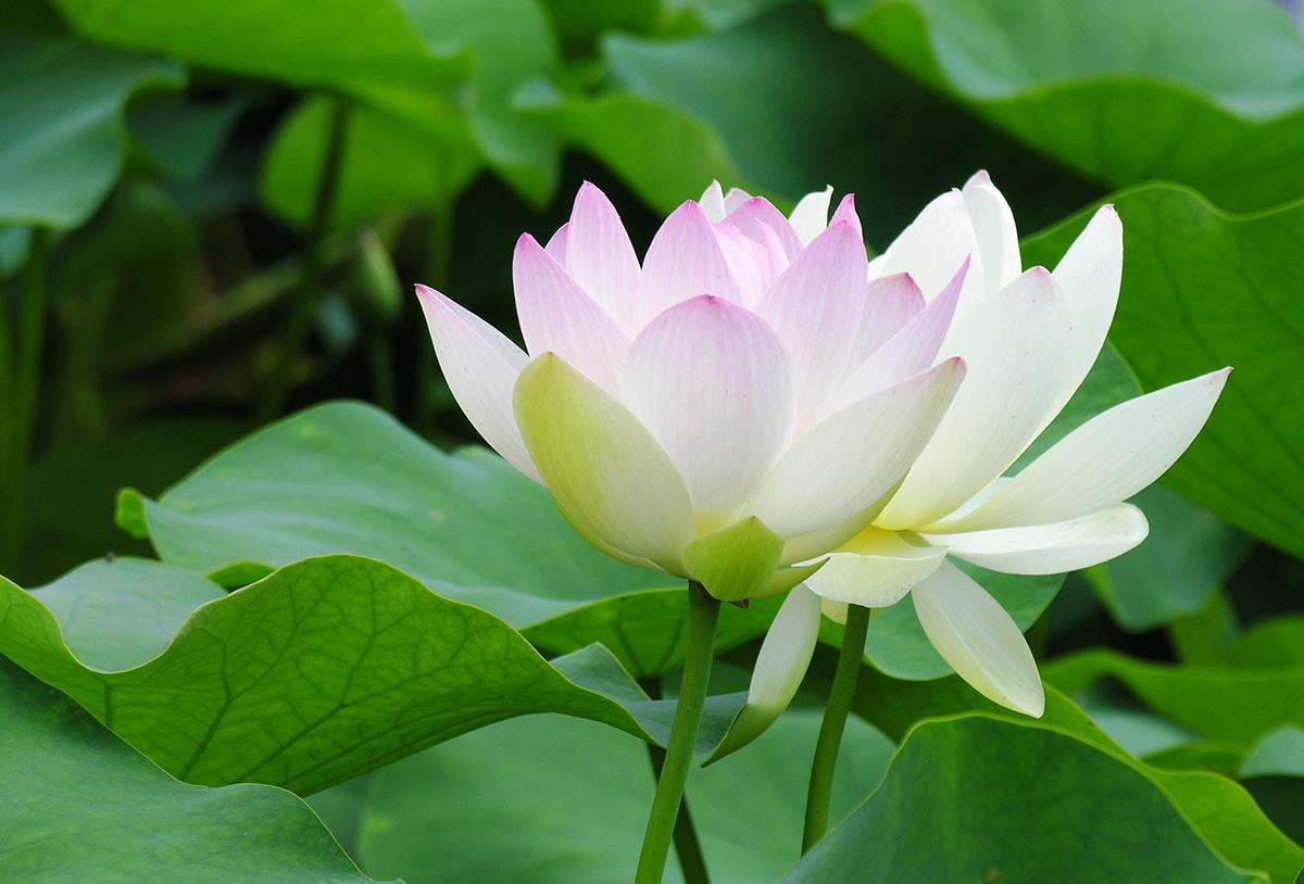 Hồ sen Trà Lý1