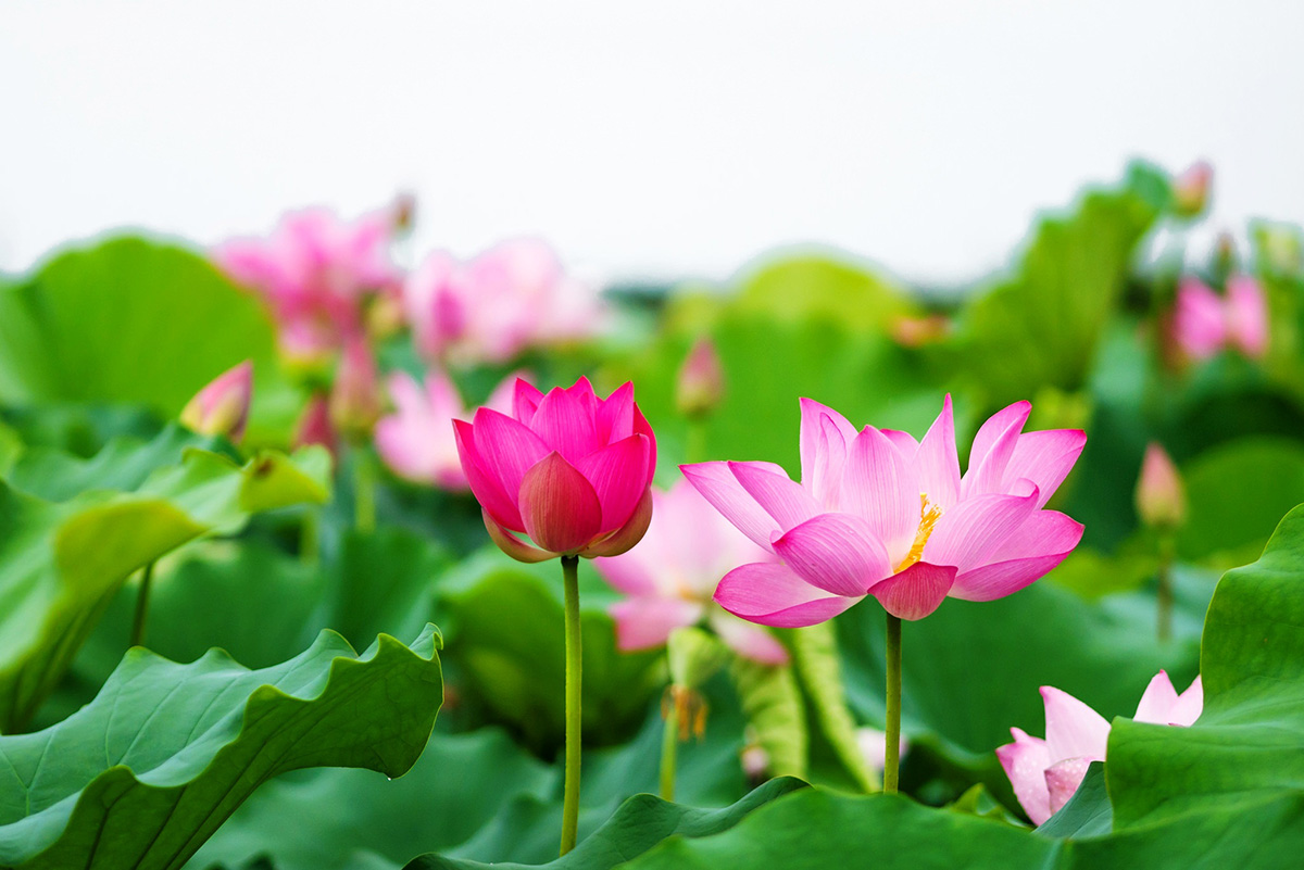 Hồ sen Trà Lý2