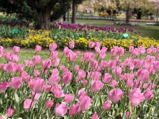Tulip Top Garden Canberra Australia
